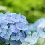 鎌倉 成就院の紫陽花(あじさい)を単焦点レンズで撮ってきた